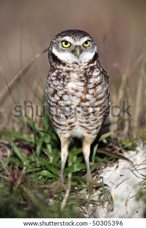 Closeup of a curious Burrowing Owl.  Florida's Burrowing Owls are a species of special concern.  Their numbers have been declining all across their range for a long time. - stock photo