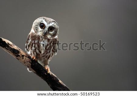 Closeup of a curious Saw-Whet Owl. - stock photo