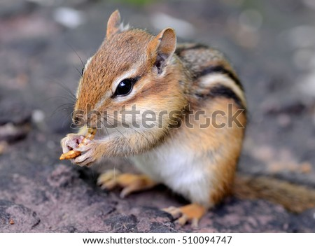 Closeup of a cute baby chipmunk snacking on a dried mealworm