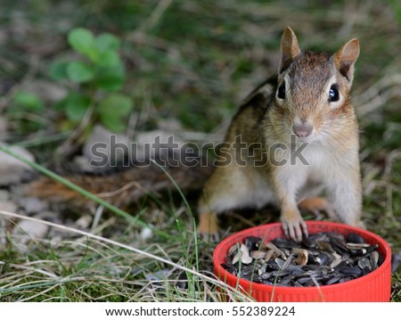 Closeup of a cute chipmunk at a food dish full of sunflower seeds