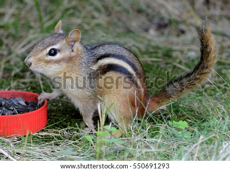 Closeup of a cute female chipmunk at a food dish full of sunflower seeds