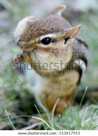 Closeup of a cute female chipmunk with a face full of stored food