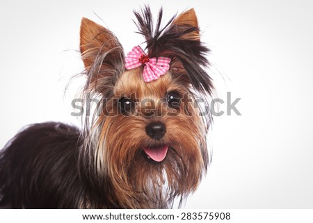 closeup of a cute yorkshire terrier puppy dog with pink bow in its hair - stock photo