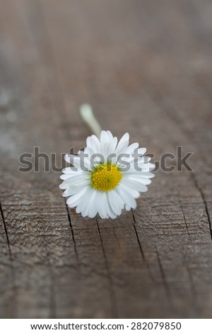 closeup of a daisy (Bellis perennis) on wooden background - stock photo