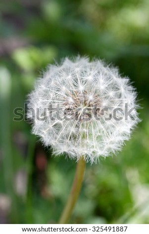Closeup of a dandelion with green background