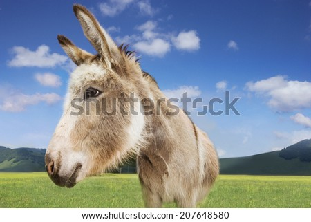 Closeup of a donkey standing in field against blue sky - stock photo