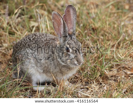 Closeup of a Eastern Cottontail Rabbit in the Wild - stock photo