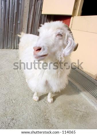 Closeup of a farm animal. - stock photo
