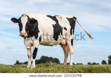 Closeup of a female black and white  cow standing on the top of a Dutch dike in the summer season. - stock photo