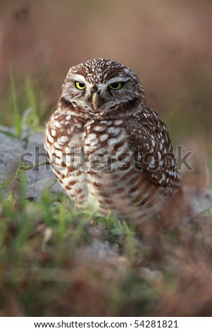 Closeup of a female Burrowing Owl at the entrance to her burrow. - stock photo