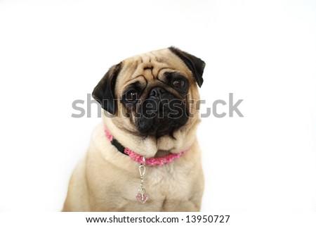 Closeup of a female Pug. - stock photo
