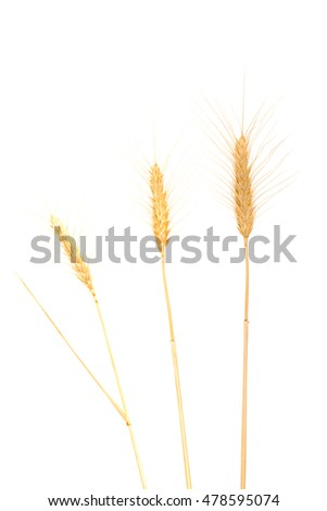 closeup of a few stalks of wheat isolated on white