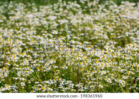 Closeup of a field of bright blooming German chamomile plants on a sunny day in the beginning of the summer season. - stock photo
