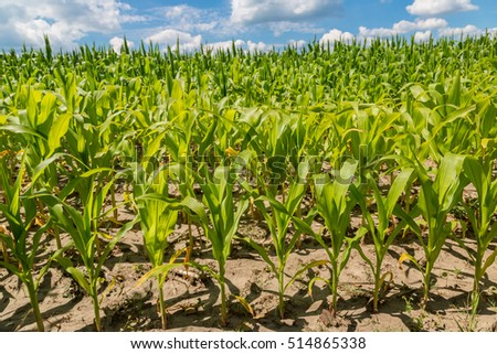 Closeup of a field of corn ready for harvest