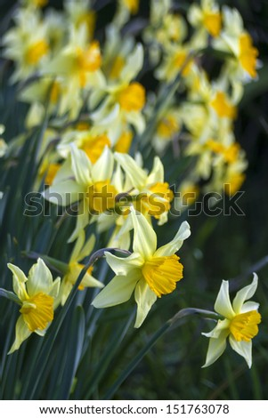 Closeup of a field of daffodils, shot in Marlborough, New Zealand in late August 2013.