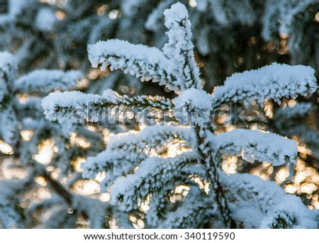 Closeup of a fir branch covered with snow