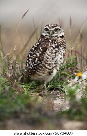 Closeup of a Florida Burrowing Owl. - stock photo