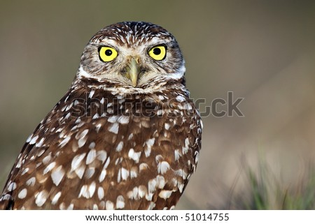 Closeup of a Florida Burrowing Owl against a blurred background. - stock photo