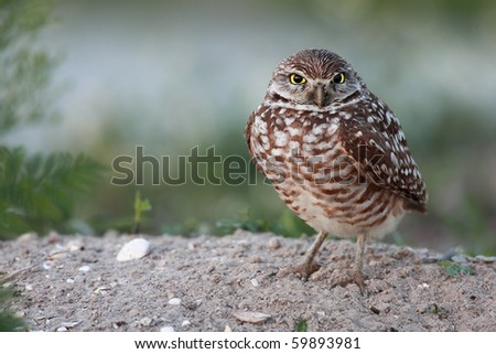 Closeup of a Florida Burrowing Owl looking at the camera with an angry expression. - stock photo