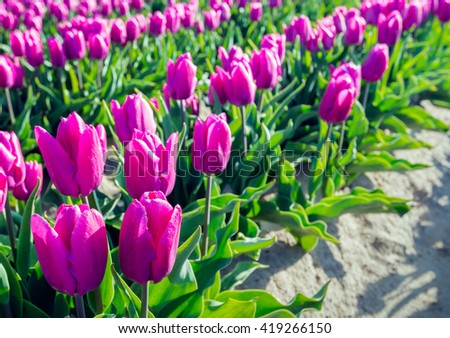 Closeup of a flower bed with pink blooming tulips and translucent green leaves in a Dutch bulbs nursery. It's early in the morning on a sunny day in the spring season. - stock photo