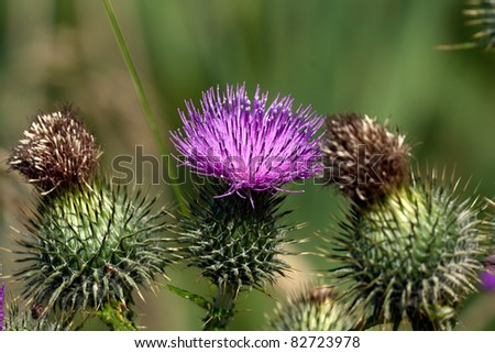 Closeup of a flowering thistle between two dead ones