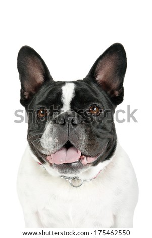 Closeup of a French Bulldog isolated on a white background. - stock photo