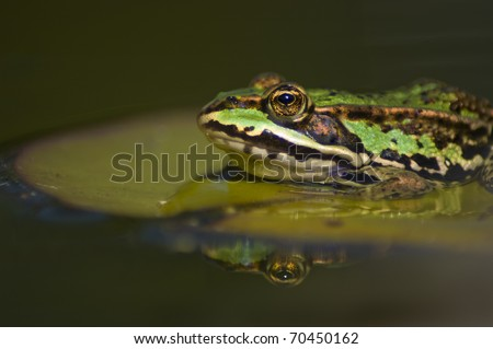 Closeup of a frog on a lily pad
