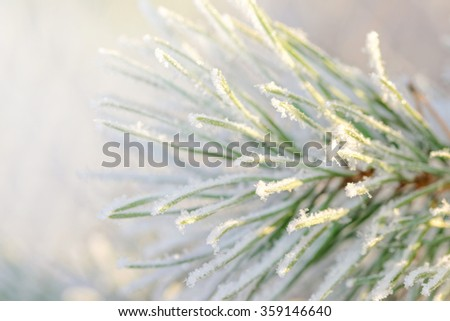 Closeup of a frosty green spruce twig during winter and sunlight. Sweden - stock photo