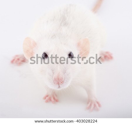 Closeup of a funny big-eared white rat (selective focus on the rat eyes) - stock photo