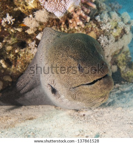 Closeup of a giant moray eel on tropical coral reef sandy sea bed - stock photo