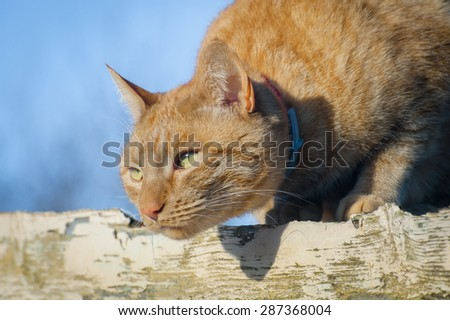 closeup of a ginger cat ready to pounce - stock photo