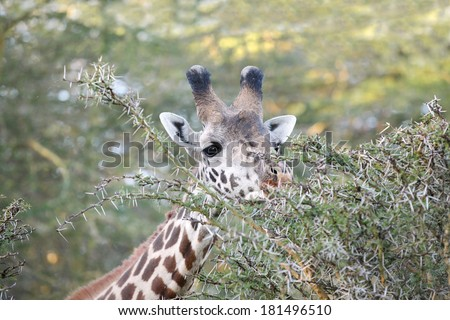 Closeup of a Giraffe in the jungle - stock photo