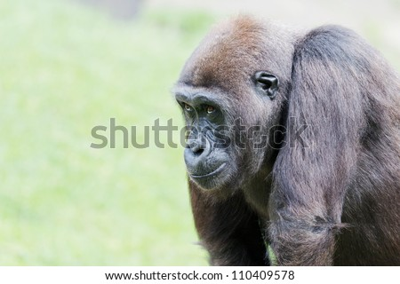 Closeup of a gorilla in front of a green background