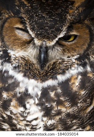 closeup of a great horned owl winking