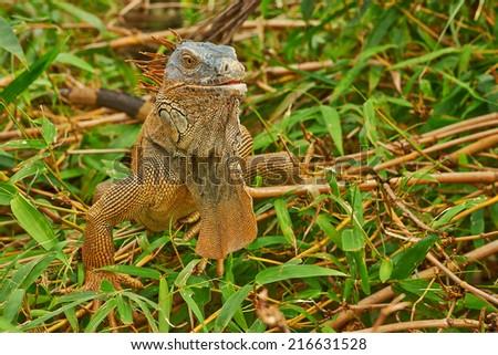 Closeup of a green iguana basking in a tree. - stock photo