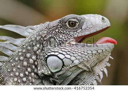 Closeup of a Green Iguana (Iguana iguana) with its mouth open - Panama - stock photo