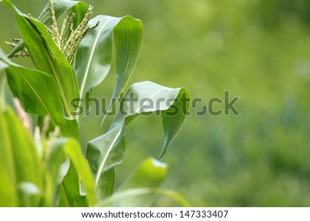 closeup of a green leaf from maize plant in the field