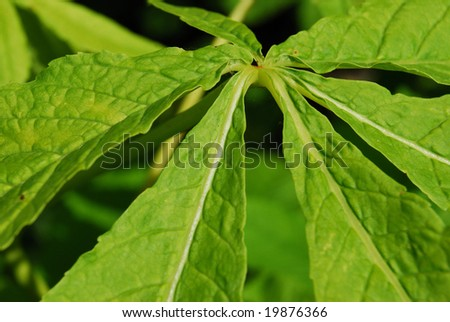 closeup of a green leaf of a chestnut tree