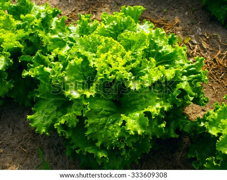 Closeup of a green lettuce plant growing in the vegetable garden - stock photo
