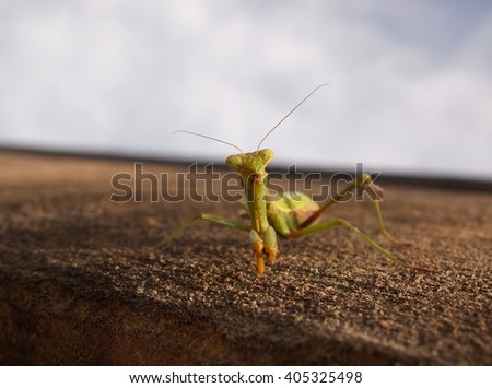 Closeup of a green praying mantis on a concrete wall looking directly at the viewer.  - stock photo