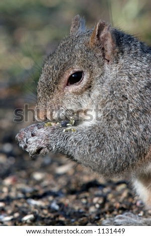 Closeup of a Grey Squirrel Eating Sunflower Seeds. - stock photo