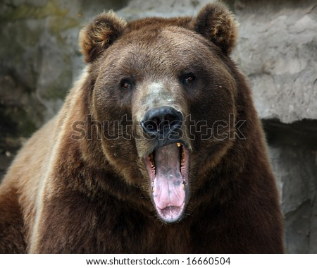 Closeup of a Grizzly Bear with his mouth open and staring at the camera. - stock photo