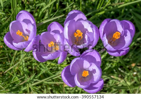 closeup of a group of violet blossoms of crocus from above - stock photo