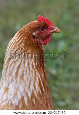 Closeup of a hen in a farmyard (Gallus gallus domesticus) - stock photo