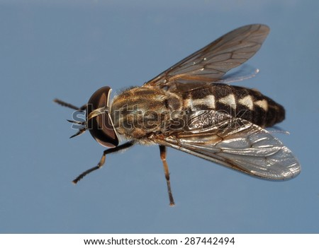 Closeup of a House Fly or Flesh Fly Isolated on Blue - stock photo