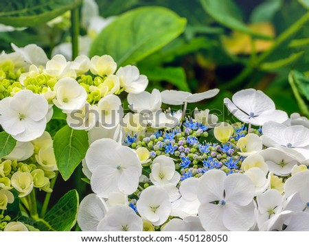 Closeup of a Hydrangea macrophylla shrub with pure white petals and small blue, purple and green buds. It is summer now. - stock photo