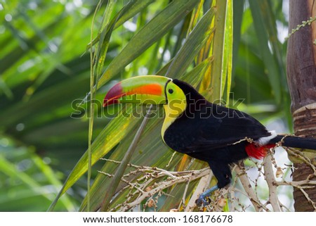 closeup of a keel billed toucan in the rainforest of Belize - stock photo