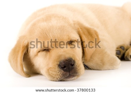 closeup of a labrador retriever puppy sleeping over white
