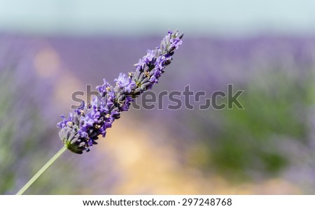 Closeup of a Lavender flower in one of the fields in Provence, France - stock photo