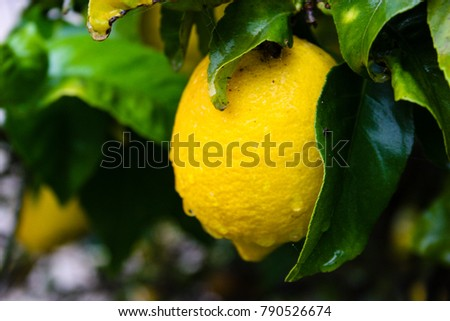 closeup of a lemon with  drops of water in Israel
